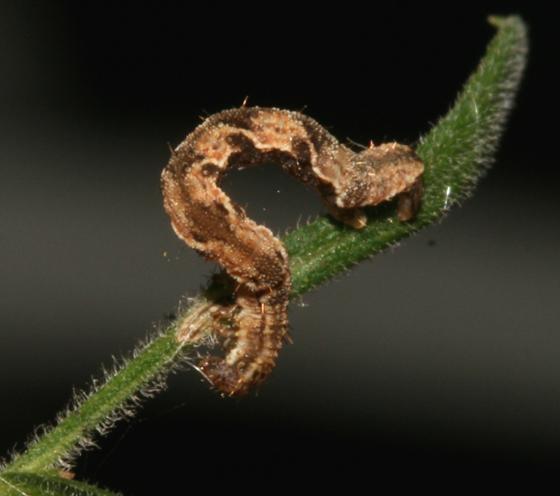 Geometridae  - Eupithecia misturata