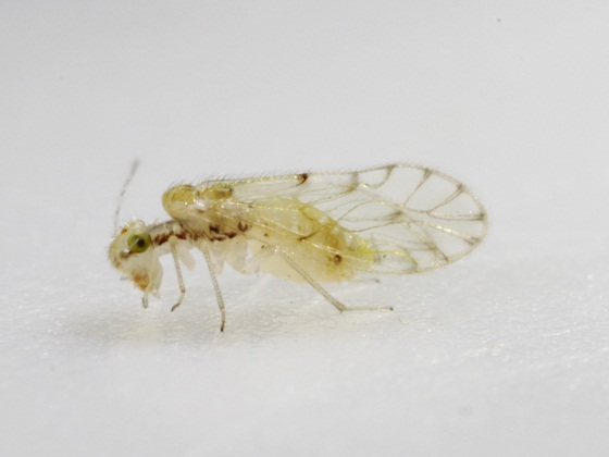 Trichopsocus dalii (McLachlan) - Trichopsocus dalii - female