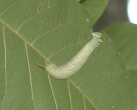 sphinx caterpillar - Amorpha juglandis