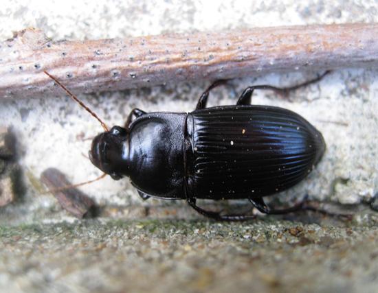 big black beetle - Harpalus