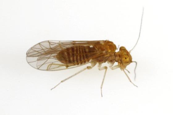 Lachesilla major Chapman - Lachesilla major - female