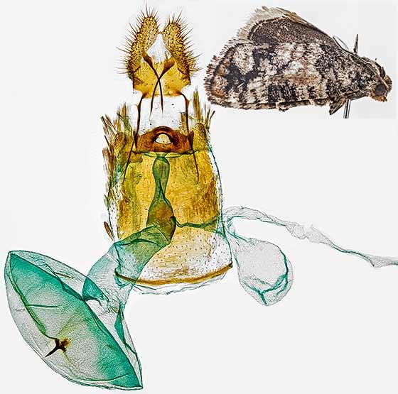 moth + genitalia - Barbara colfaxiana - female