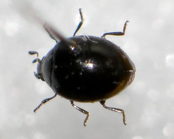 Micro Lady Beetle in New Brunswick  - Microweisea misella