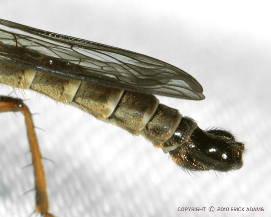 Asilid with Golden Hairs Everywheres - Neomochtherus latipennis - male