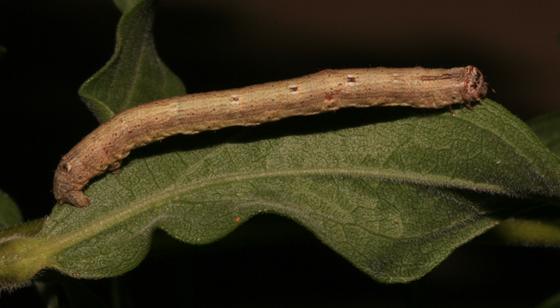 Anavitrinella pampinaria, larva - Anavitrinella pampinaria