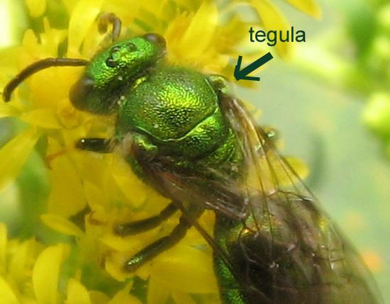 Tegula - Augochloropsis metallica - male