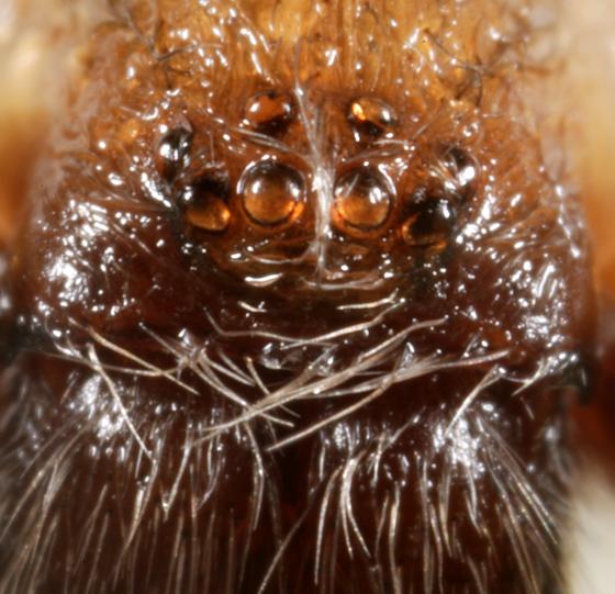 agrestis eyes - Eratigena agrestis - male