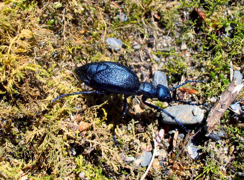 Short-Winged Blister Beetle - Meloe angusticollis