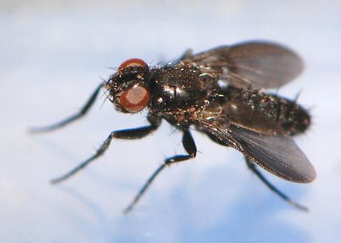 fly 2 - Melanophora roralis