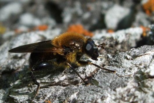 Brachypalpus - Brachypalpus undescribed - male