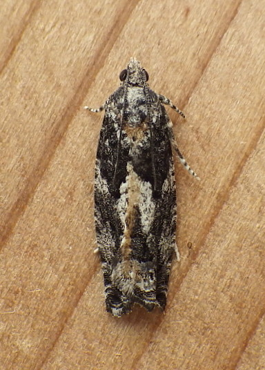 Tortricidae: Phaneta parmatana? - Epinotia nisella