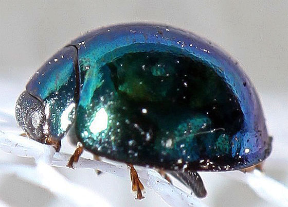 Halmus Chalybeus, Steelblue Lady Beetle? - Halmus chalybeus - female