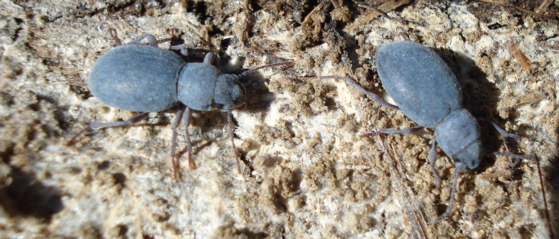 blue beetles - Triorophus