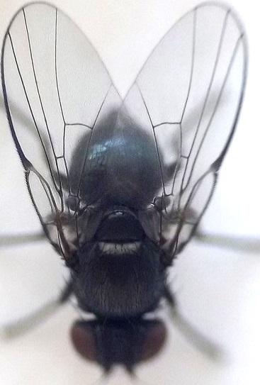 Fly from stinging nettle dead stems - Melanagromyza martini