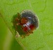 Black and red beetle - Scymnus