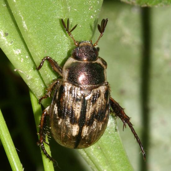 Scarab Beetle - Exomala orientalis