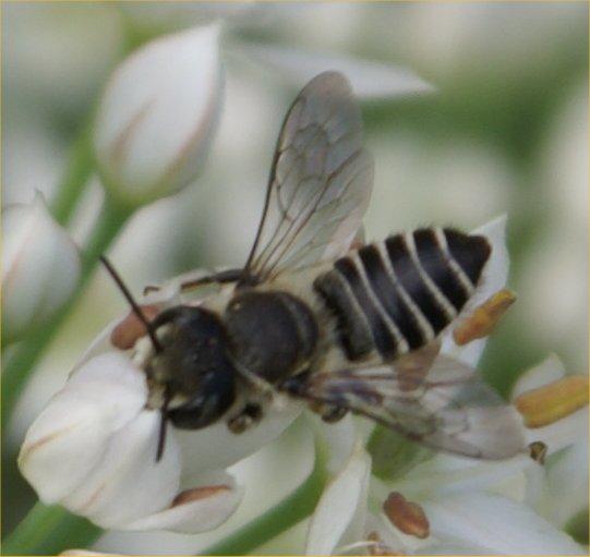 Small Black White Bee On Alium Blossoms