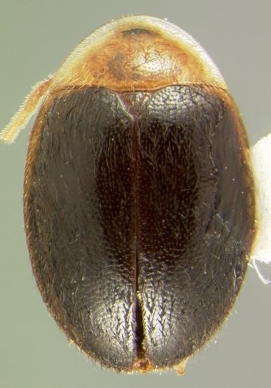 Sacodes thoracica (Guérin) - Sacodes thoracica