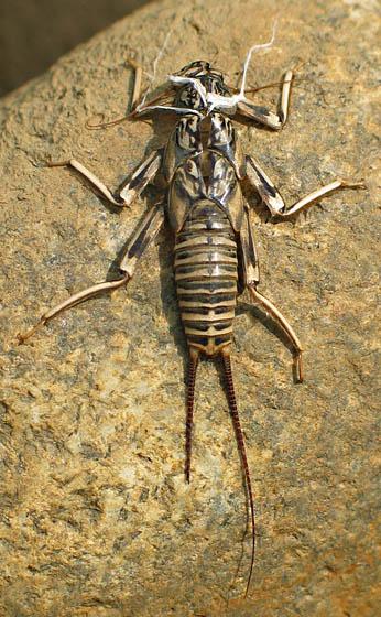 Dragonfly(?) Exuviae on Rock - Paragnetina immarginata