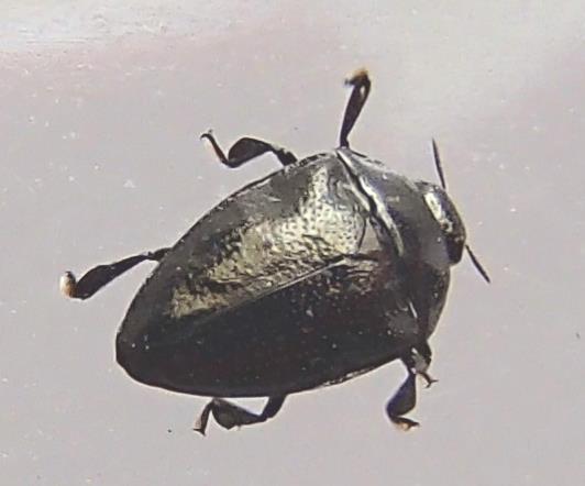 Wood Boring Beetle - Pachyschelus