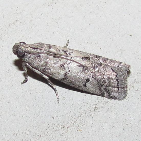 Salebriaria ademptandella (Dyar, 1908) - Hodges #5770.1 - Salebriaria ademptandella
