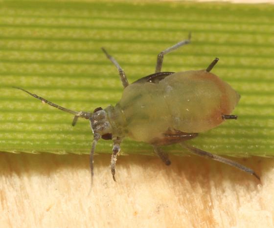 Aphid on Tussock Sedge - Rhopalosiphum