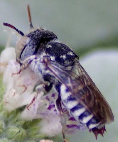 White Bee? Bee mimic? - Coelioxys coturnix - male