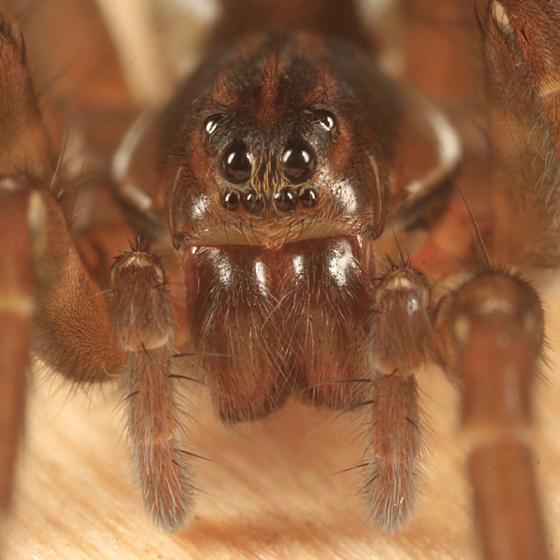Wolf Spider - Pirata - female