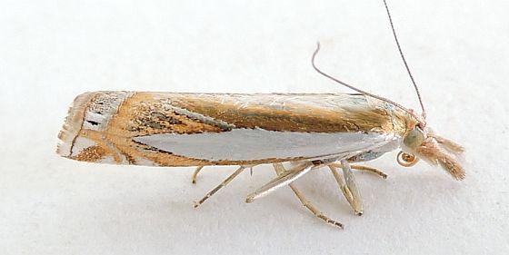 Arizona Moth - Crambus