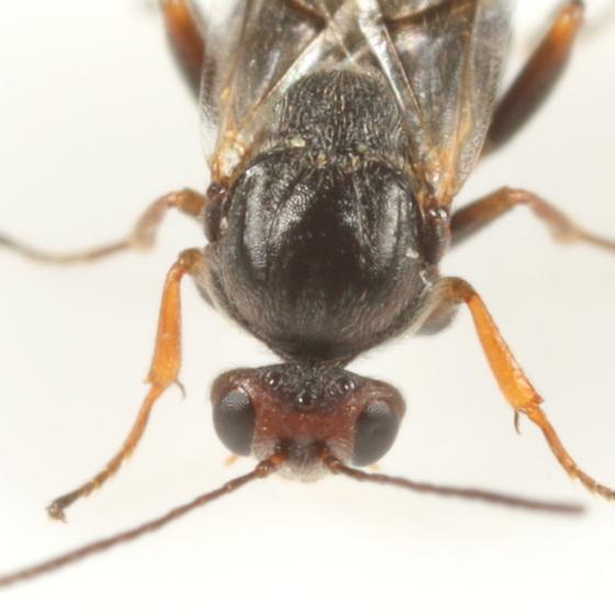 Andricus pattoni - female