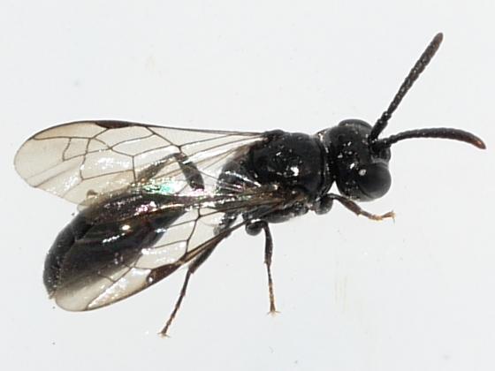 wasp - Psenulus
