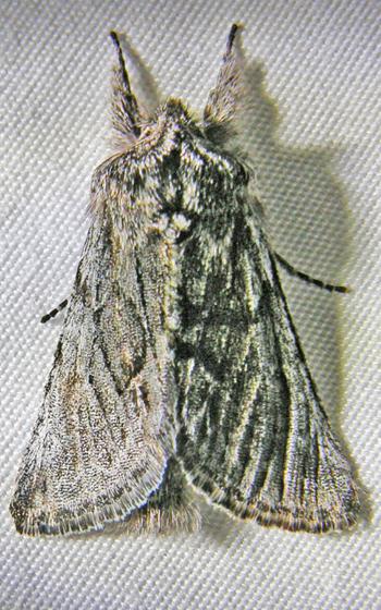Bonus Pleromelloida - Pleromelloida bonuscula