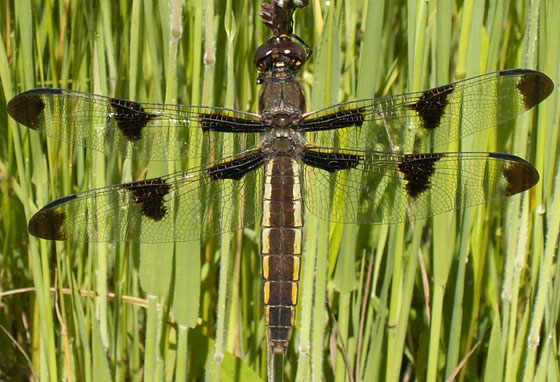 Twelve spotted skimmer? - Libellula pulchella - female