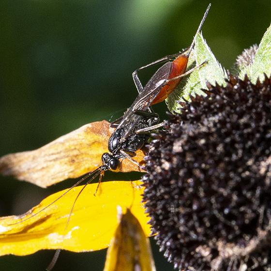 Ichneumon Wasp - Cryptus albitarsis