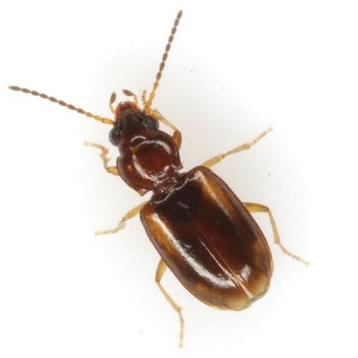 Tachys pulchellus LaFerté-Sénectère - Tachys pulchellus