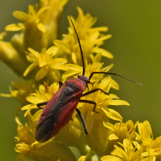 Bug 447A 8746 - Lopidea