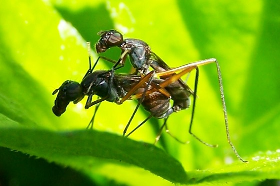 Flies? - Taeniaptera trivittata - male - female