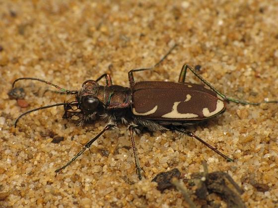 Cicindela ancocisconensis - female