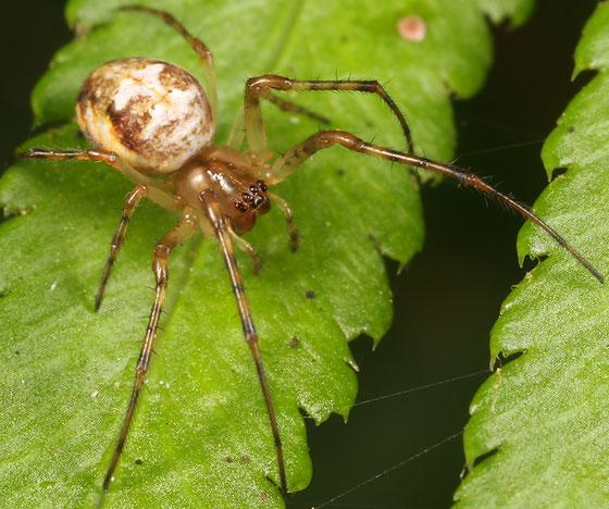 spider - Metellina