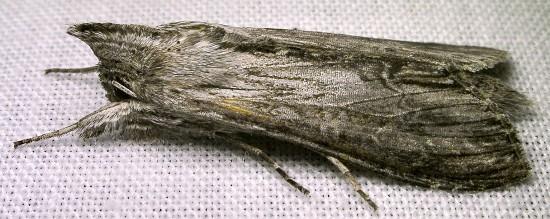 moth - Cucullia