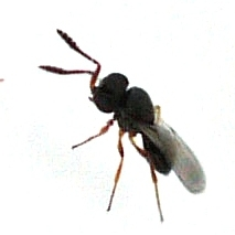 Wasp which has parasitized Stink Bug eggs - Telenomus