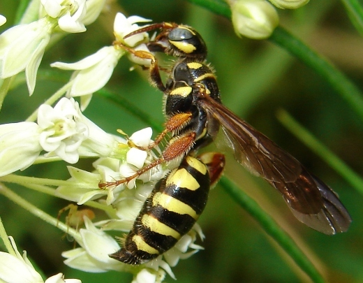 Tiphid wasp - Myzinum quinquecinctum - female
