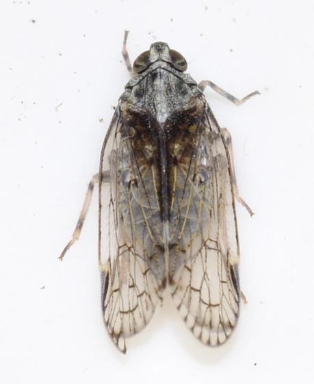 Oliarus sp. - Cixiid planthopper - Melanoliarus