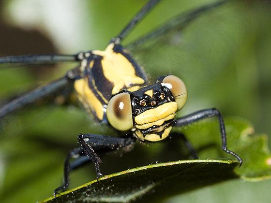 Grappletail - Octogomphus specularis - female