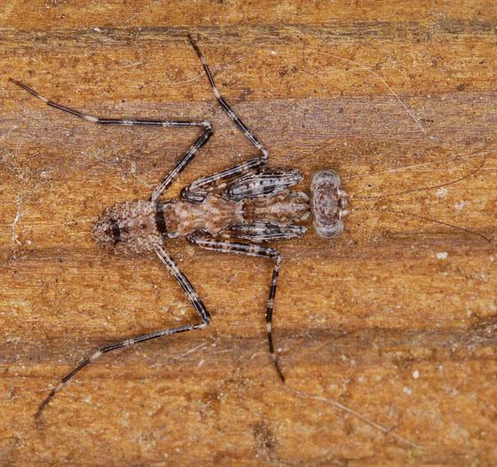 mantis - Gonatista grisea