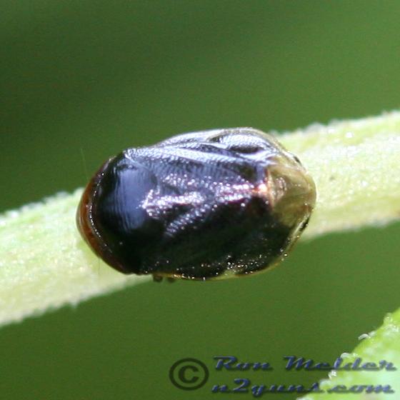 Spittlebug 04 - Clastoptera xanthocephala