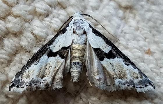 Nigetia formosalis (Thin-Winged Owlet) - Nigetia formosalis
