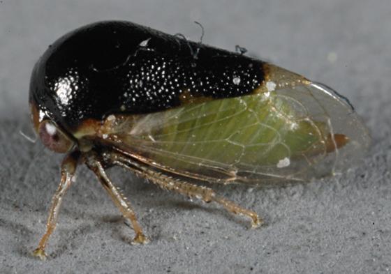 Fulgoroidea - Micrutalis