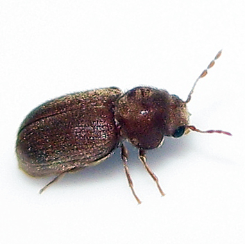 Drugstore beetle stegobium paniceum bugguide net - Insecte de bois maison ...