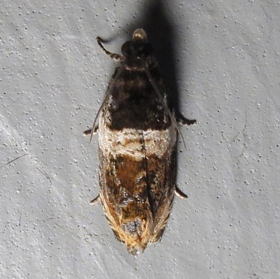 Hodges #2823 - Banded Olethreutes Moth - Olethreutes fasciatana